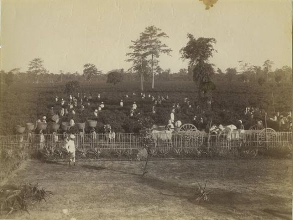 Tea Plantation, Processing Plant, Bunglow and Horse Carriage - Sibsagar, Assam c1880's